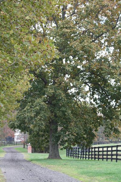 Grand tree at Blairwood Farms