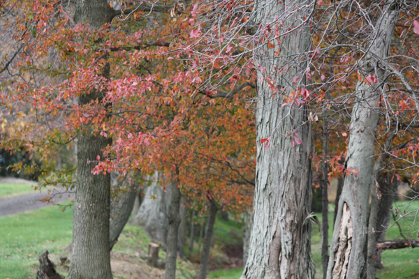 Red leaves at Blairwood Farms